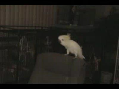 Dancing Parrot / Танцующий Попугай