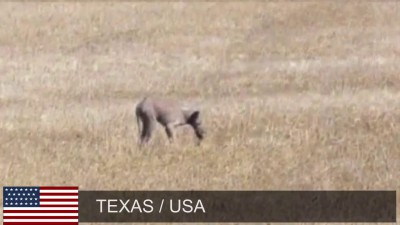 Техасец обнаружил на своем участке чупакабру