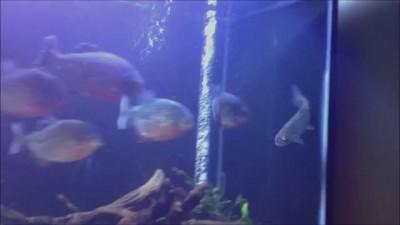 Жертва обречена: форель в аквариуме с пираньями