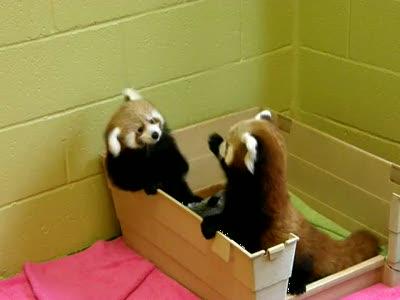 Малая рыжая панда