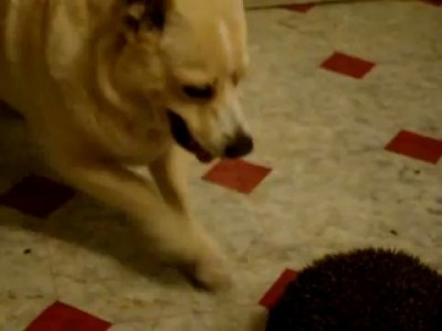 Собака и еж