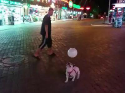 Бульдожек играет с шариком