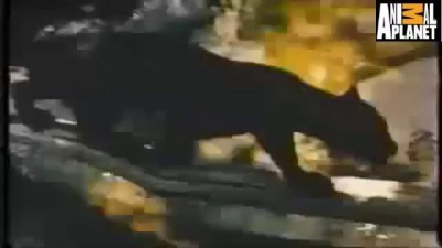 jaguar Kills Giant Fish