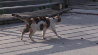 Шанхайские кошки