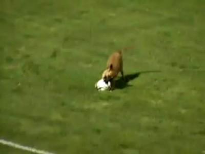 Собака - футболистка