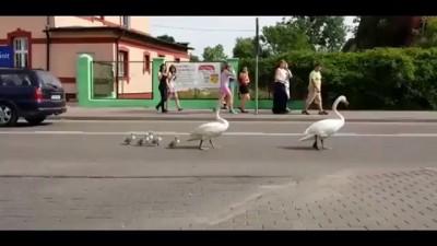 Лебединая семья под защитой полиции .