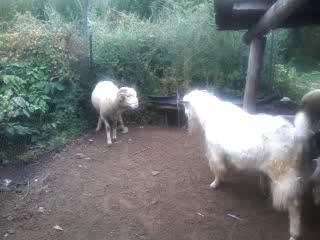Драка барана против козла