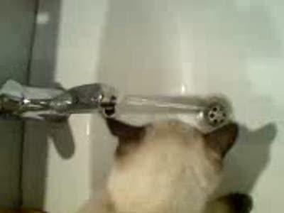 Кот пьет из-под крана