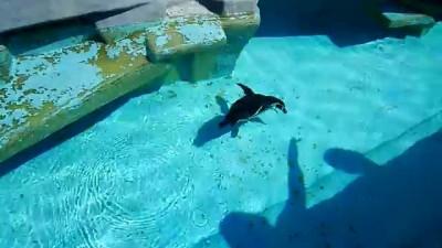 Забавный пингвин хочет съесть тень :)