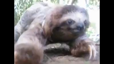 Нападение ленивца