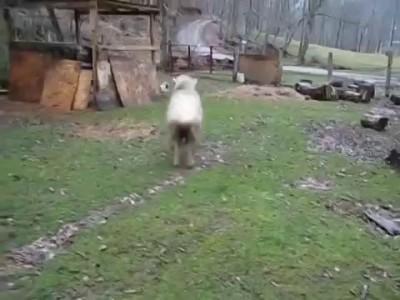 Овцы в шоке