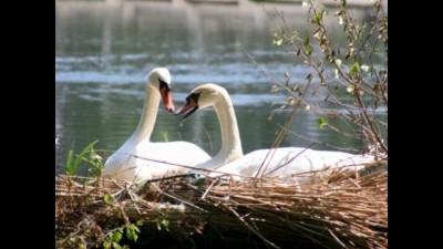 красота и величие лебедей