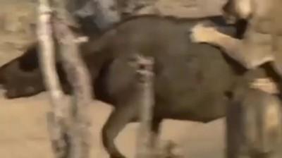 Слон спас буйвола от льва. Такое можно увидеть раз в жизни / Очень трогательно! - Уникальные кадры