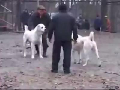 Жестокий собачий бой