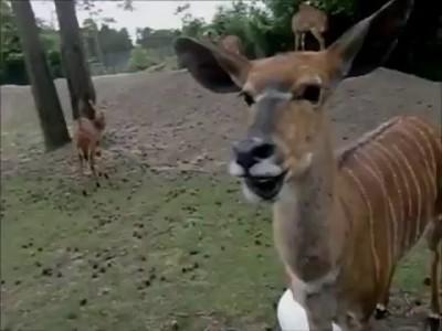 Говорящая антилопа