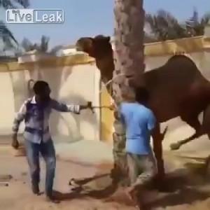 Месть верблюда