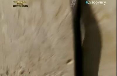 Шпильковая змея (Atractaspis engaddensis)