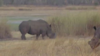 Белый носорог надел себе на морду шину