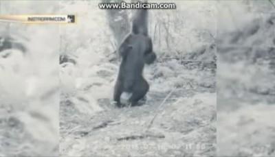 Медведь-танцор