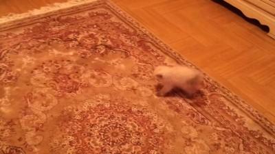 Котёнок испугался ковра