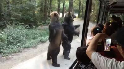 Медведи на задних лапах выпрашивают еду у туристов