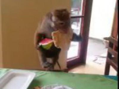 Monkey mom snatches epic meal for baby