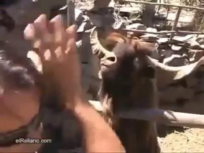 Плюющийся баран