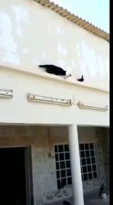 Pigeon outsmarts a cat