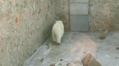 В челябинском зоопарке медведь сходит с ума