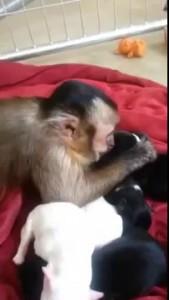 Обезьянка и новорожденные щенки