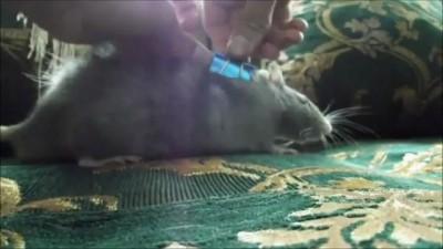 как отключить крысу