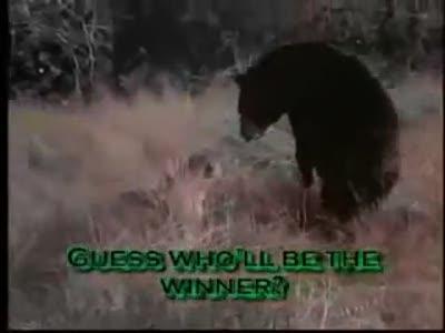 Пума и медведь - кто кого