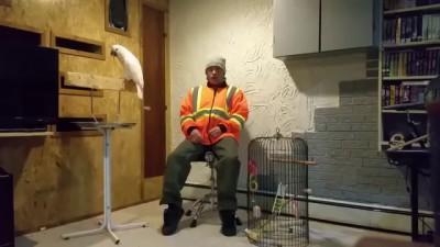 Реакция попугая на ремонт клетки.