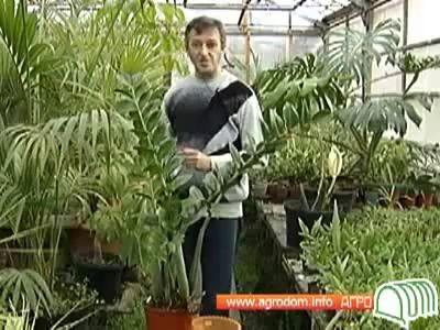 Щитовка Борьба с щитовкой на комнатных растениях