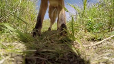 Лиса истребитель камеры GoPro