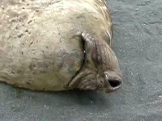 Как храпят тюлени