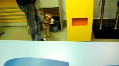 Бойцовская собака без намордника гуляет по фотосалону