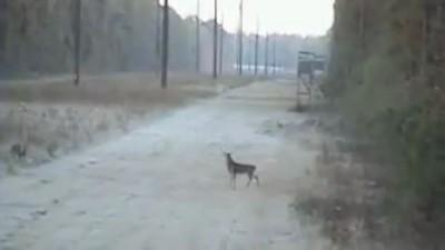 Жалкий охотник против бестрашного оленя