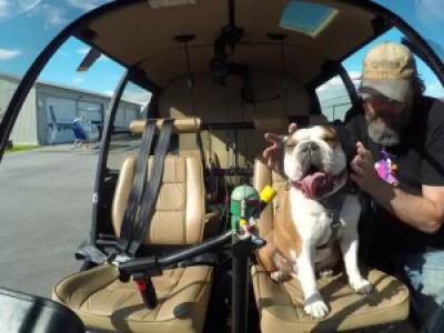 Bentley the Bulldog's Helicopter Adventure | Shot in 4k