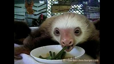 Ленивцы обедают