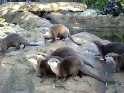 Выдры (Лондонский зоопарк)