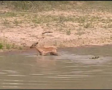 Крокодил, антилопа и черепашки