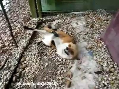 Лиса в зоопарке