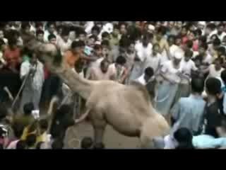 Верблюд vs толпы людей