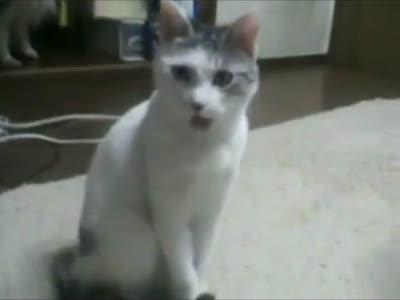Трубный глас кота