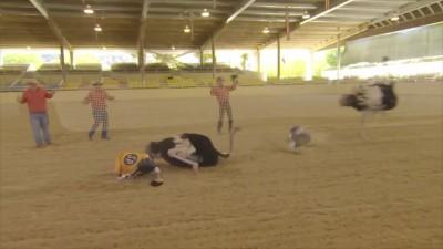 страусинные бега