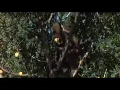 Пьянящее дерево