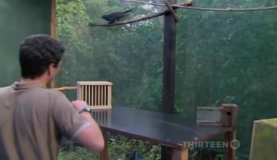 Ворон - умнейшая птица!