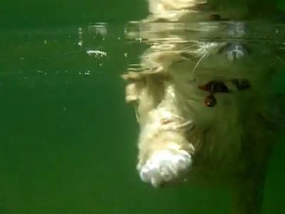 Водоплавающая кошица