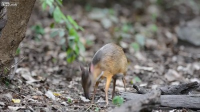 Олень-мышь